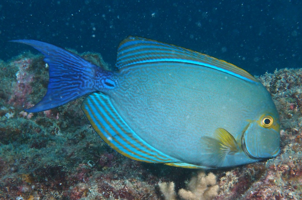 Acanthurus xanthopterus Yellow-mask surgeon New Caledonia fish picture lagoon