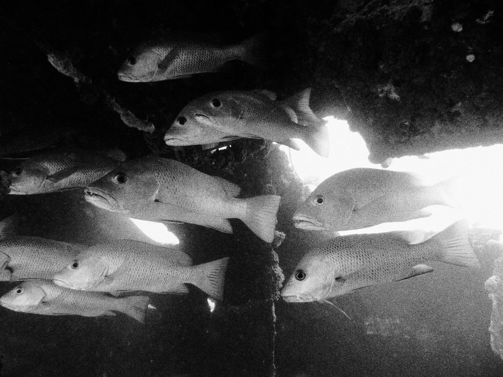 Fishes inside the wreck underwater black and white picture New Caledonia