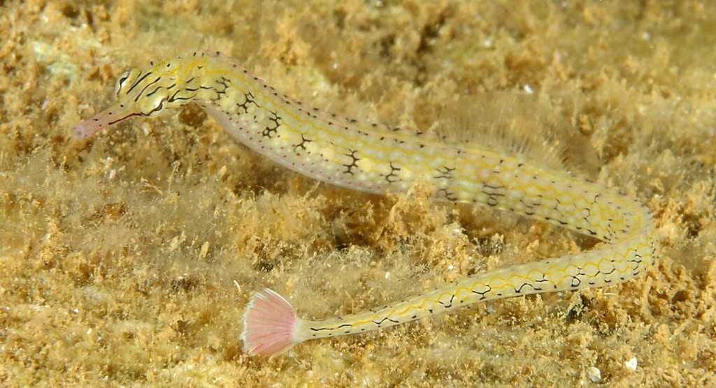 Corythoichthys conspicillatus Reticulate Pipefish New Caledonia Syngnathidae family