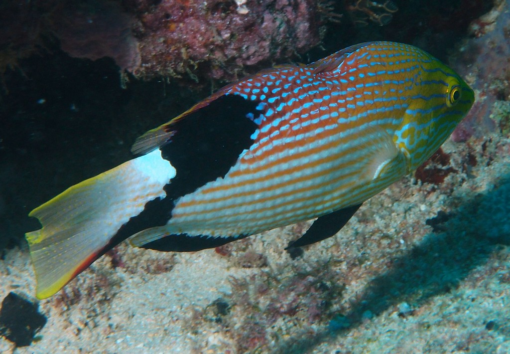 Bodianus loxozonus Blackfin hogfish New Caledonia fish lagoon reef