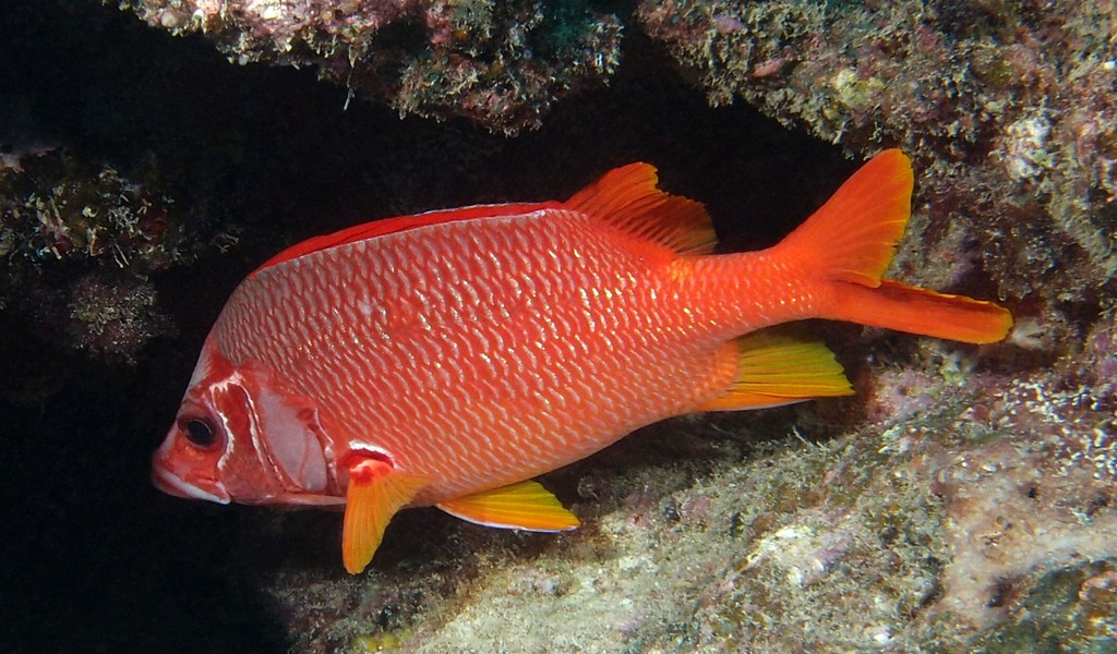 Sargocentron spiniferum Sabre squirrelfish New Caledonia Head and body red