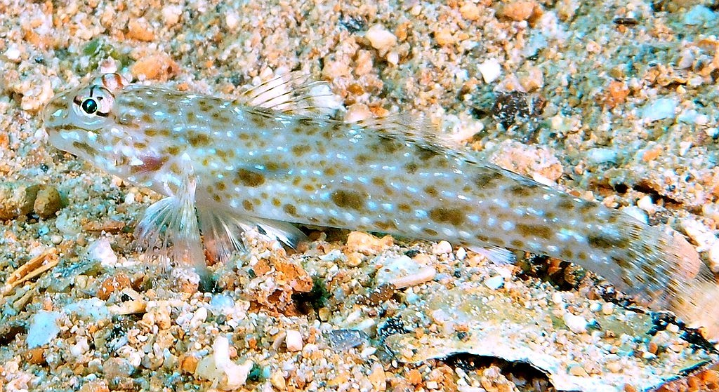 Istigobius rigilius Brown-speckled sand-goby New Caledonia sandy areas with living coral