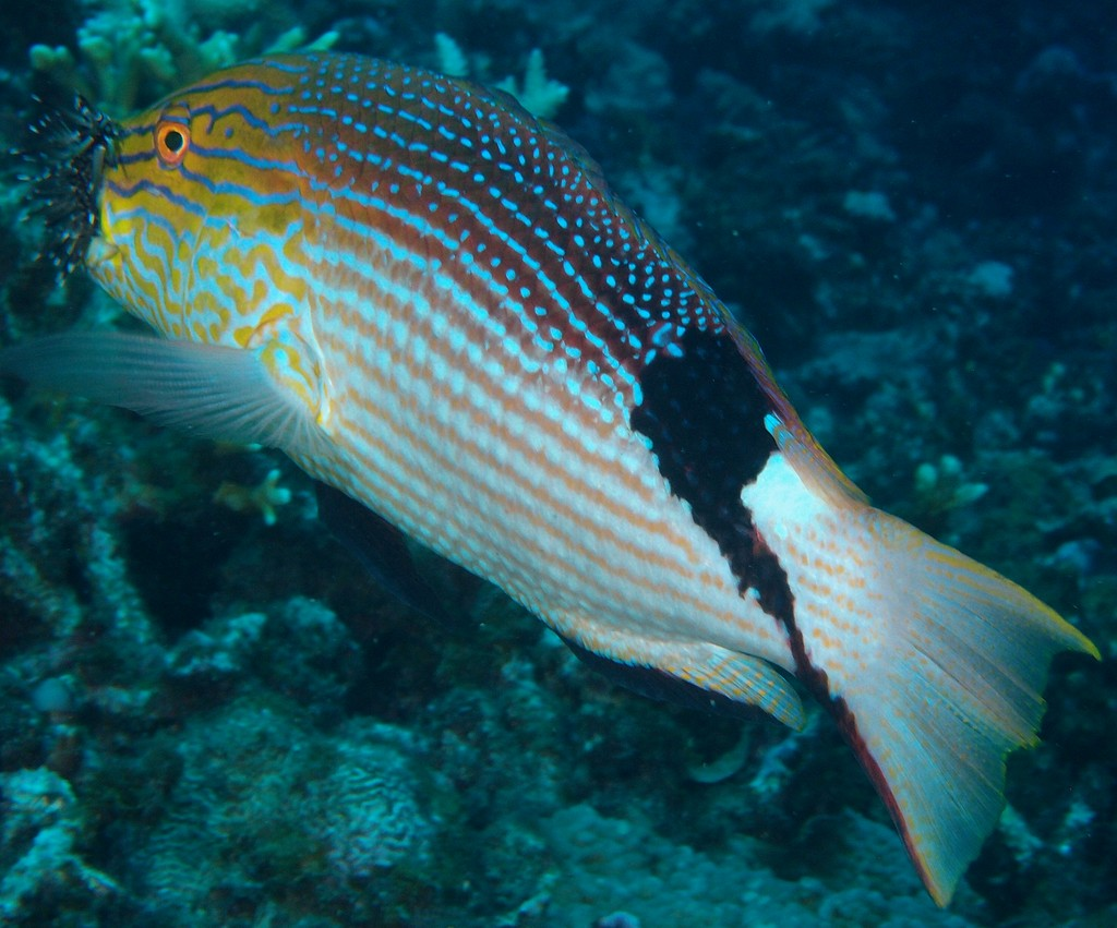 Bodianus loxozonus Reef pigfish New Caledonia large black blotch on the back