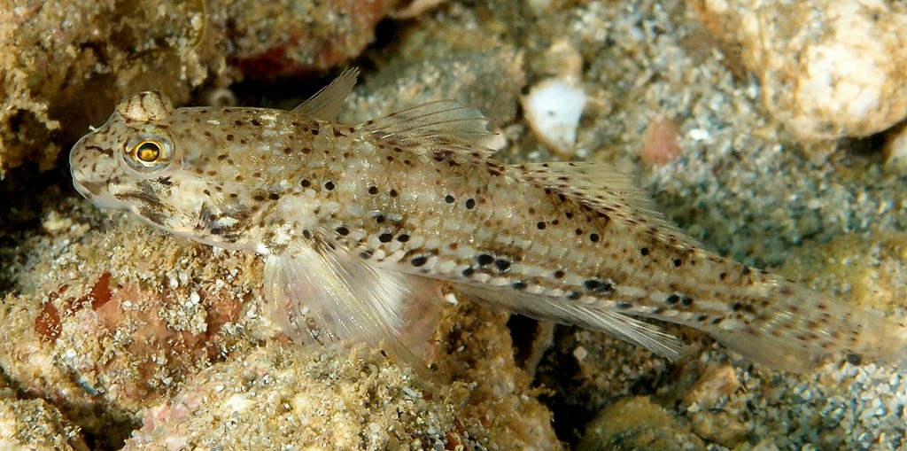 Istigobius goldmanni Goldman's goby New Caledonia overnor of moluques Islands