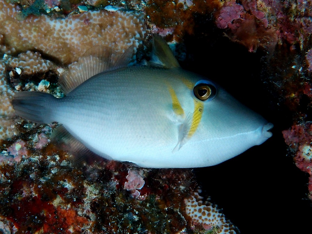 Sufflamen bursa Whiteline triggerfish New Caledonia ​Inhabit clear inner and outer reef habitats