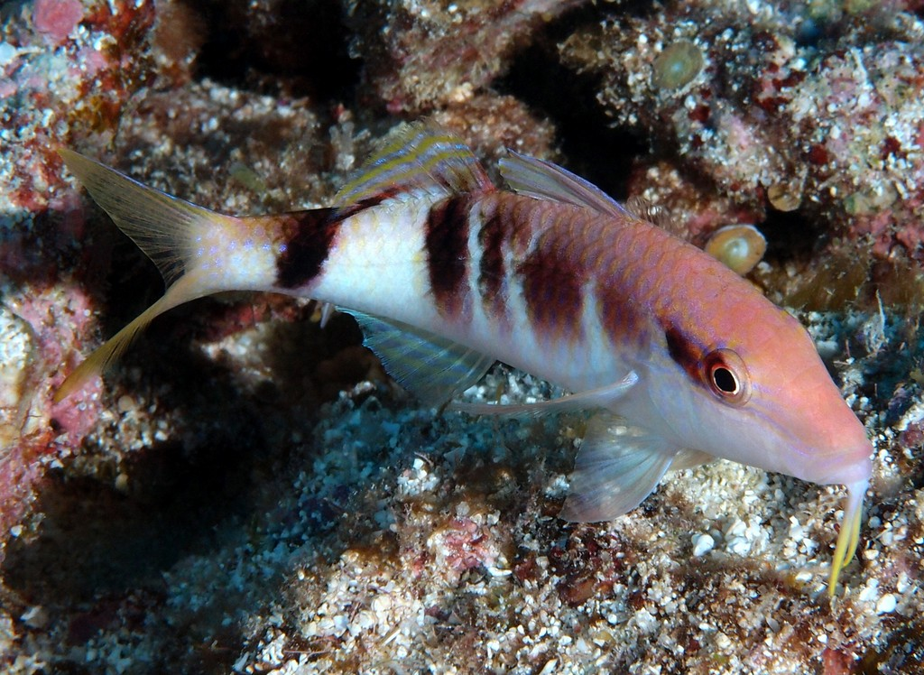 Parupeneus multifasciatus Manybar goatfish New Caledonia Body gray to red, the margins of the scales often yellow