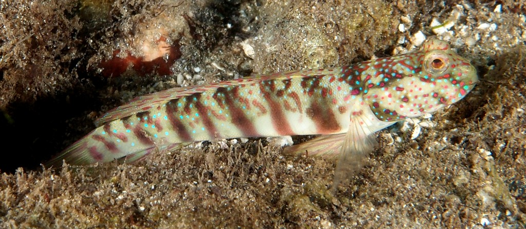 Cryptocentrus leptocephalus blue-spotted shrimp goby New Caledonia pale brownish green body color grading to whitish ventrally