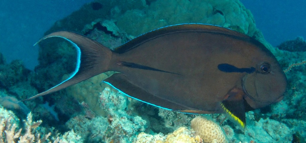 Acanthurus nigricauda Epaulette surgeonfish New Caledonia  dark brown without lines on body
