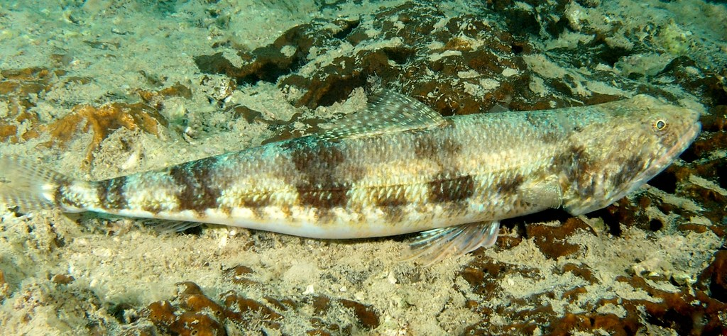 Synodus variegatus Variegated lizardfish New Caledonia long cylindrical body short-based first dorsal fin