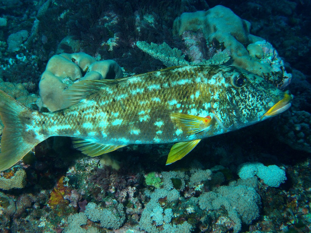 Lethrinus xanthochilus Yellowlip emperor New Caledonia Body is yellowish gray with scattered irregular dark spots