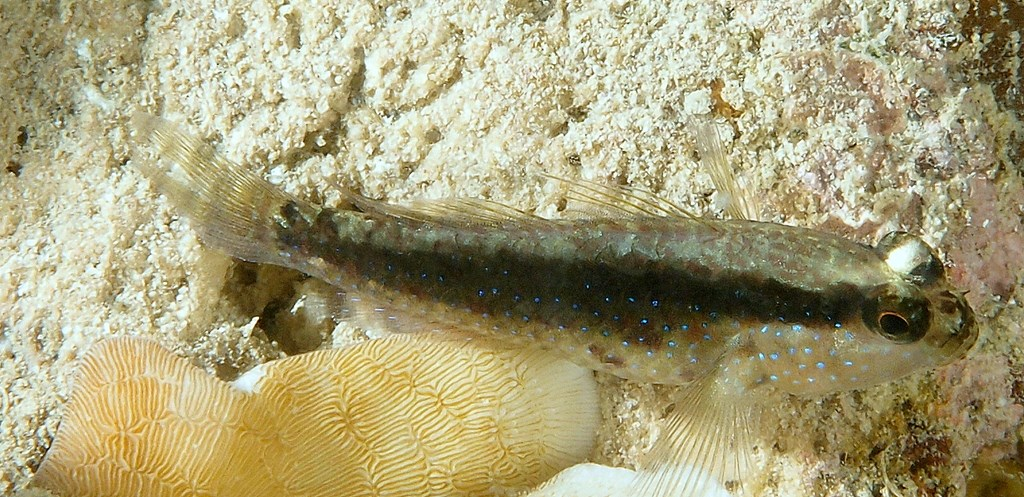 Asterropteryx semipunctata Halfspotted goby New Caledonia prolonged third dorsal spine
