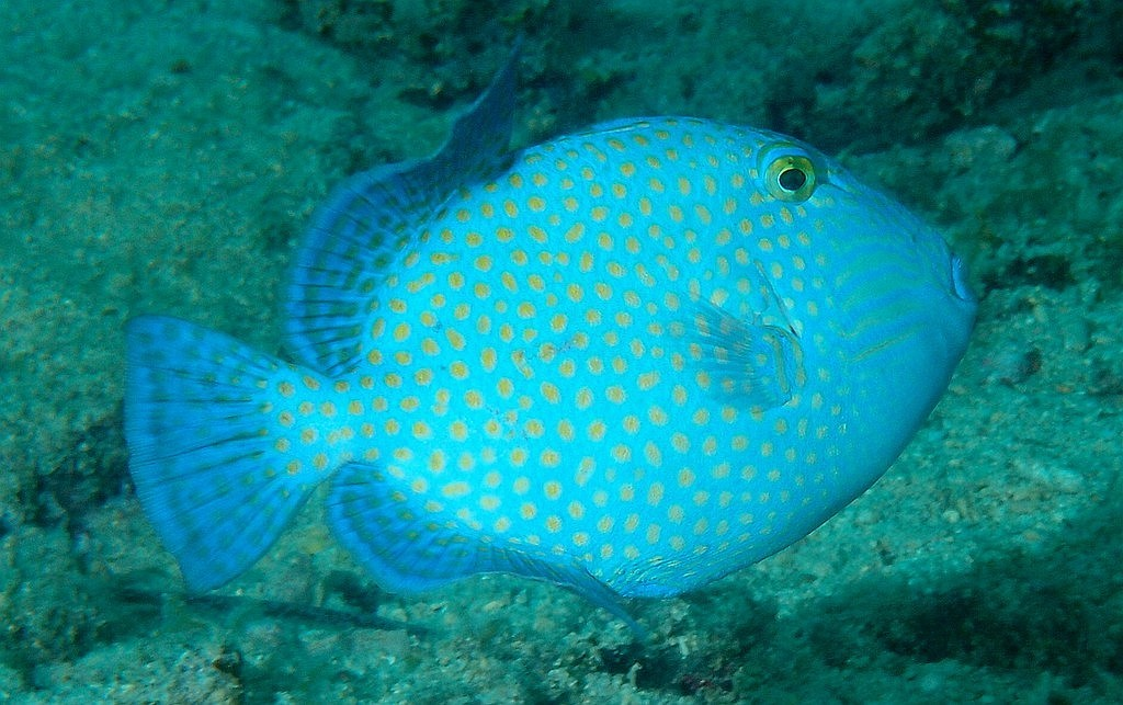 Pseudobalistes fuscus Bluelined triggerfish adult New Caledonia fish lagoon reef identification