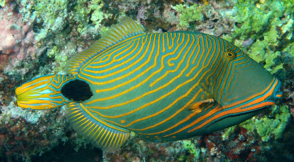 Balistapus undulatus Orange striped triggerfish New Caledonia Balistidae family orange lines on posterior head and body
