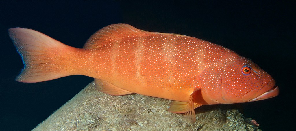 Plectropomus leopardus Leopard coral trout red color New Caledonia coral-rich areas of lagoon reefs and mid-shelf reefs