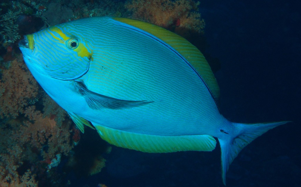 Acanthurus mata Elongate surgeonfish New Caledonia Capable of changing color to pale bluish overall