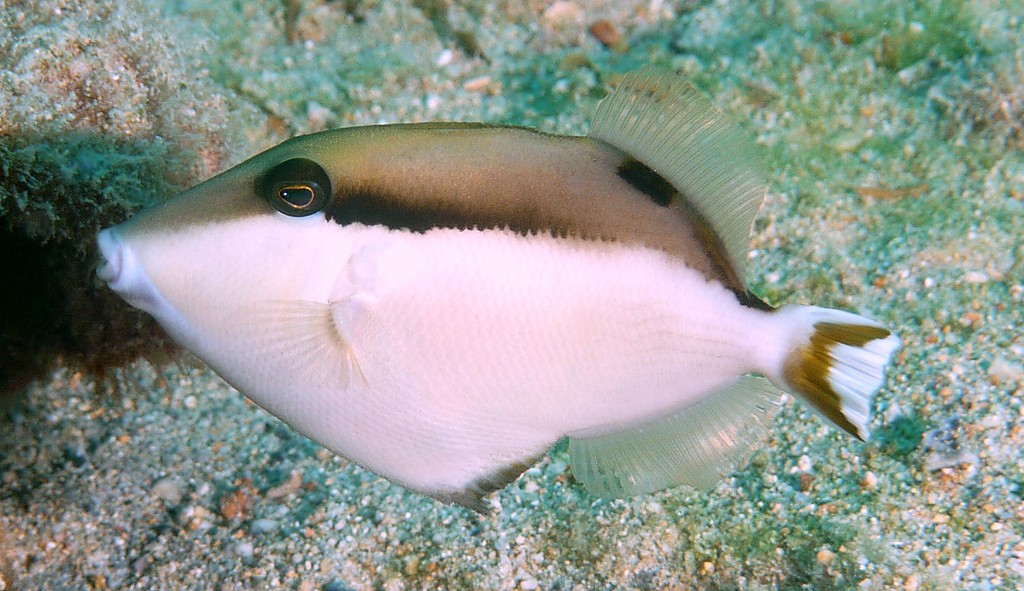 Sufflamen chrysopterum Yellowstreak triggerfish New Caledonia Oviparous Monogamous Fish