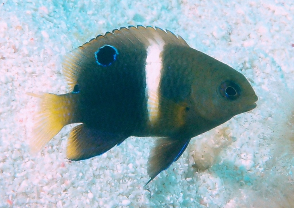 Chrysiptera biocellata Twinspot damselfish juvenile Pomacentrinae New Caledonia fish lagoon scuba diving picture
