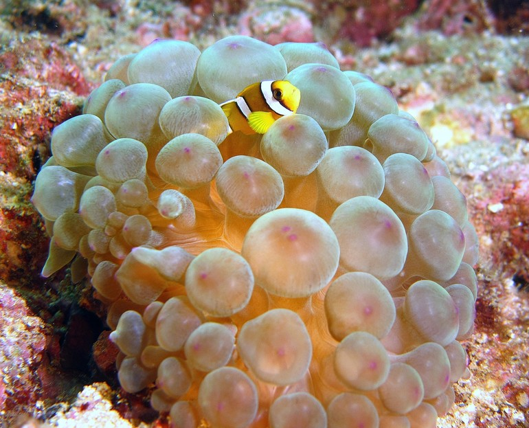 Clark's anemonefish young - Oman sea