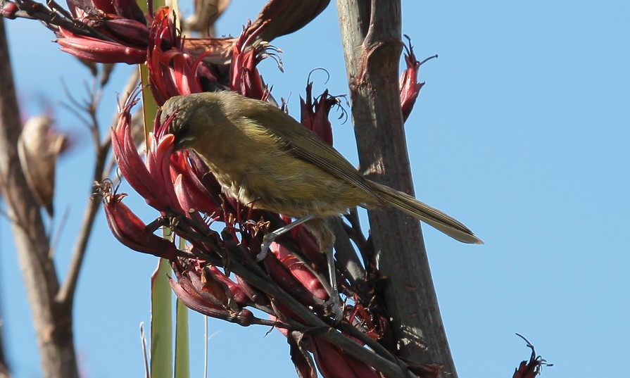 Anthornis melanura bellbird New Zealand North Island