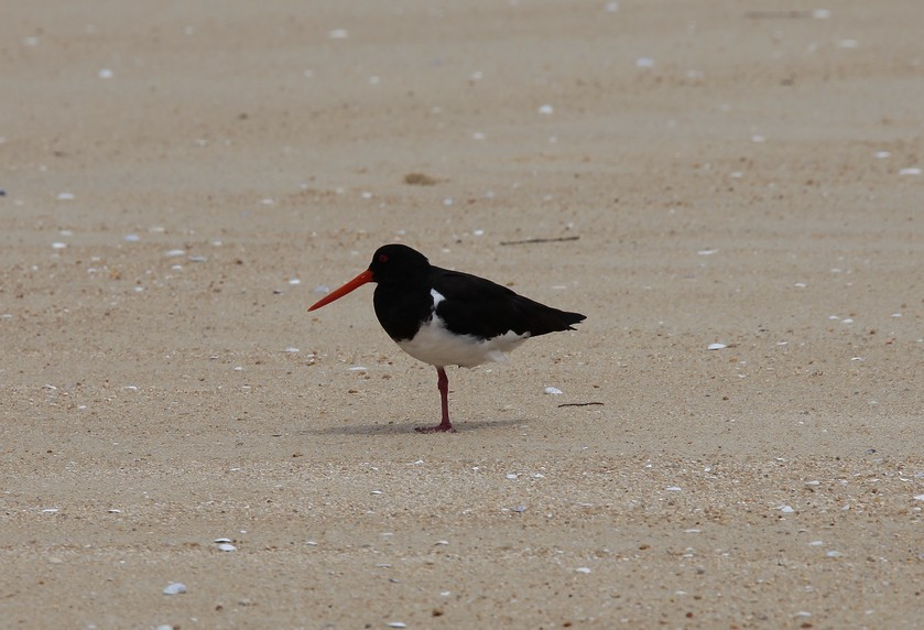 Haematopus finschi South Island Pied Oystercatcher New Zealand