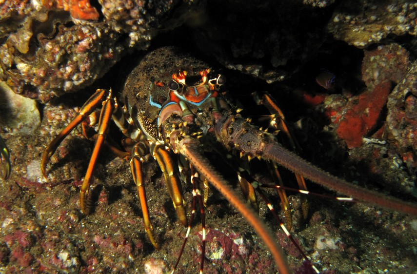 Scalloped spiny lobster oman diving musandam indian ocean