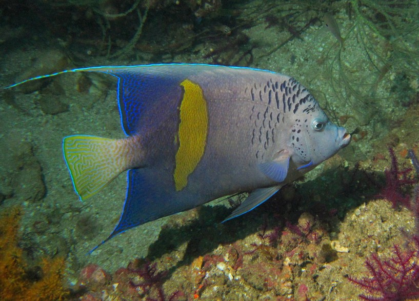 Angel Fish - Oman Sea