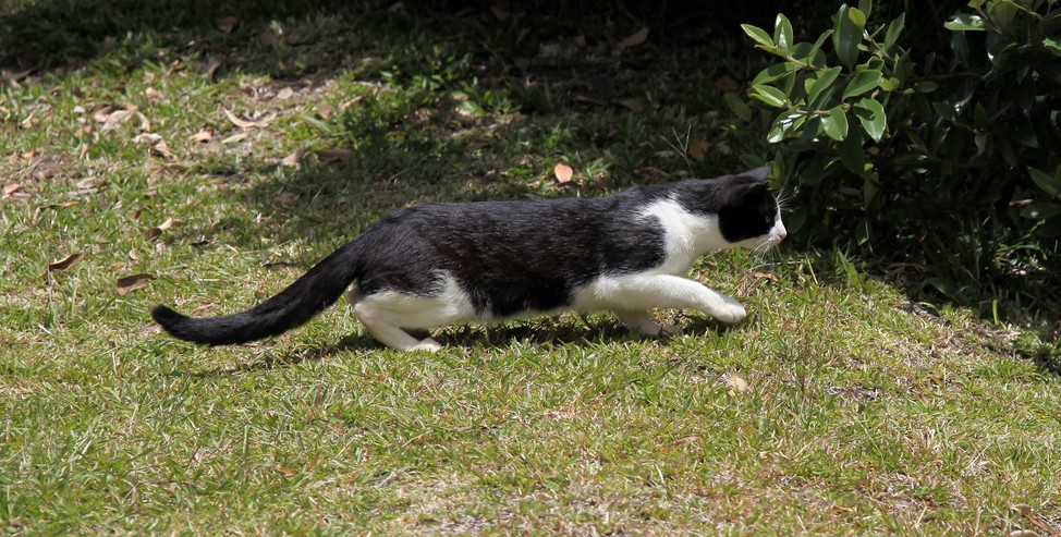White and black cat New Zealand hunting bird
