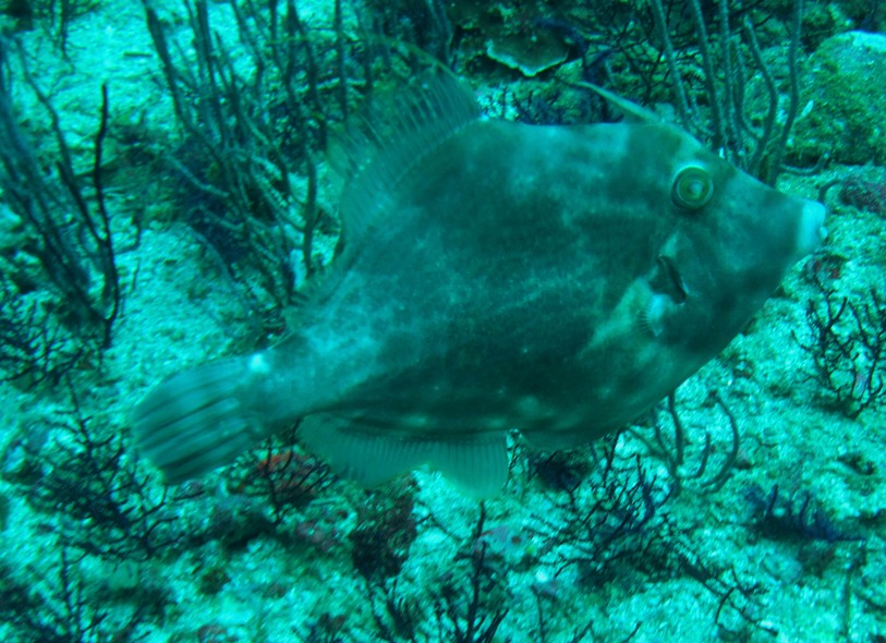 Poisson oman bourse garnale underwater picture musandam diving dibba