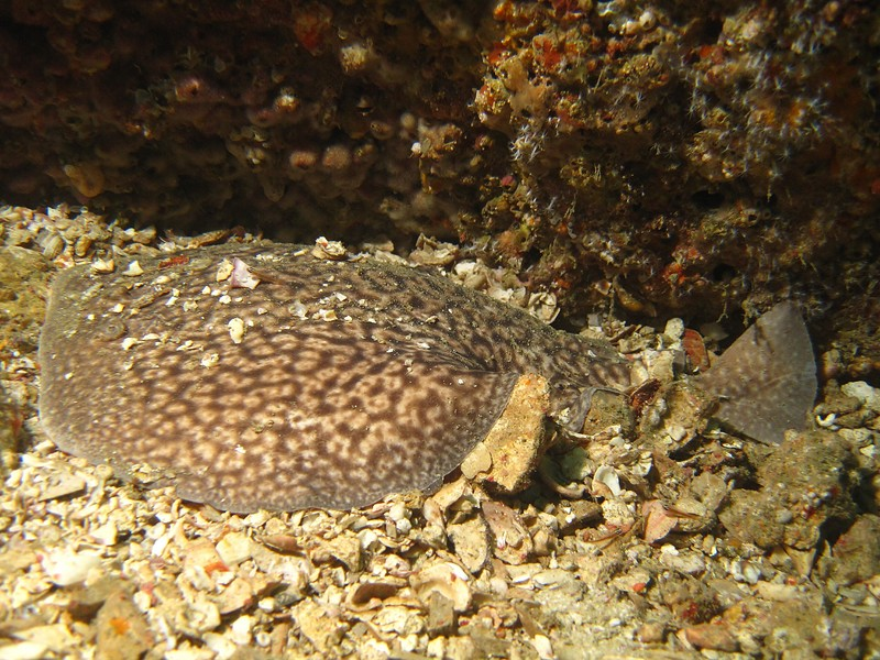 Marbled electric ray - Mussandam penisula - Sultanate of Oman