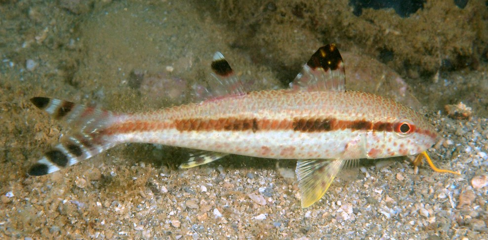 Upeneus tragula Bartail Goatfish tropical warm temperate waters Indo-West Pacific New Caledonia island diving fish