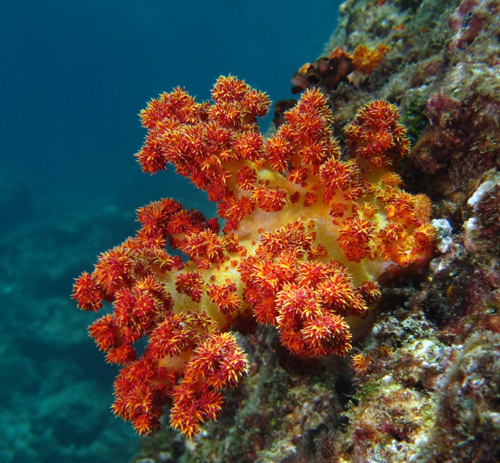 red soft coral - Oman sea