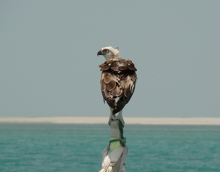 Osprey in Abu Dhabi United Arab Emirats