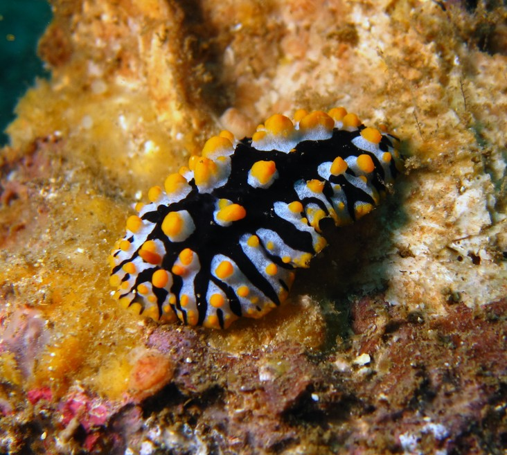 Phyllidia rueppelii nudibranche noir a points jaune Oman Lima Rock
