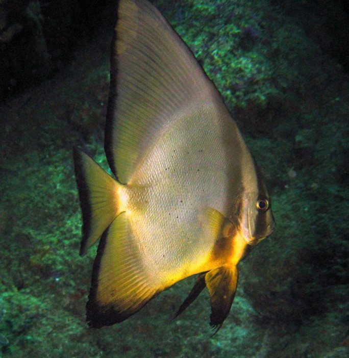 Circular batfish - oman sea - mussandam - lima rock north