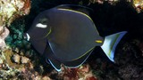 Acanthurus nigricans Whitecheek surgeonfish New Caledonia horizontally elongate white blotch directly below eye