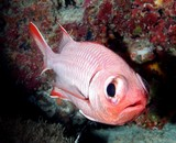 Myripristis botche Finspot soldierfish New Caledonia fish red big eyes
