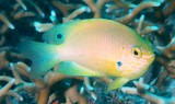 Pomacentrus amboinensis 安汶雀鯛 安邦雀鲷 coral reef fish New Caledonia
