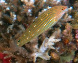 Halichoeres melanurus Yellow-tailed wrasse New Caledonia fish underwater picture