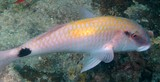Parupeneus indicus Sultan Ibrahim Indian goatfish New Caledonia