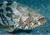 Epinephelus coioides Orange-spotted grouper New Caledonia underwater picture fish