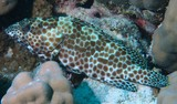 Epinephelus merra Dwarf-spotted Grouper fishing big game New Caledonia aquarium Noumea best dive spot
