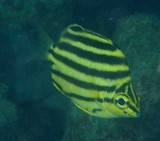 Microcanthus strigatus Butterflyfish Eastern stripey fish New Caledonia camera picture