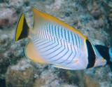 Chaetodon trifascialis table-coral butterflyfish New Caledonia fish lagoon island