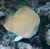 Chaetodon citrinellus Speckled butterflyfish New Caledonia fish yellow black spot