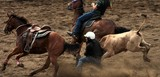 Bulldogging Steer Wrestling rodeo event  horse-mounted rider steer New Caledonia federation