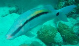 Parupeneus barberinus Spotted golden goatfish New Caledonia