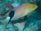 Bodianus loxozonus Eclipse hogfish New Caledonia fish colour lagoon