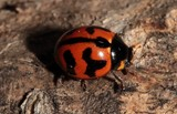 Coccinella transversalis transverse lady beetle New Caledonia insect