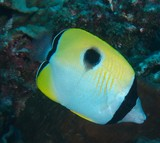 Chaetodon unimaculatus Teardrop butterflyfish New Caledonia scuba diving fish
