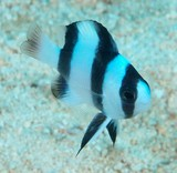 Chrysiptera tricincta Tuxedo Three band damselfish New Caledonia